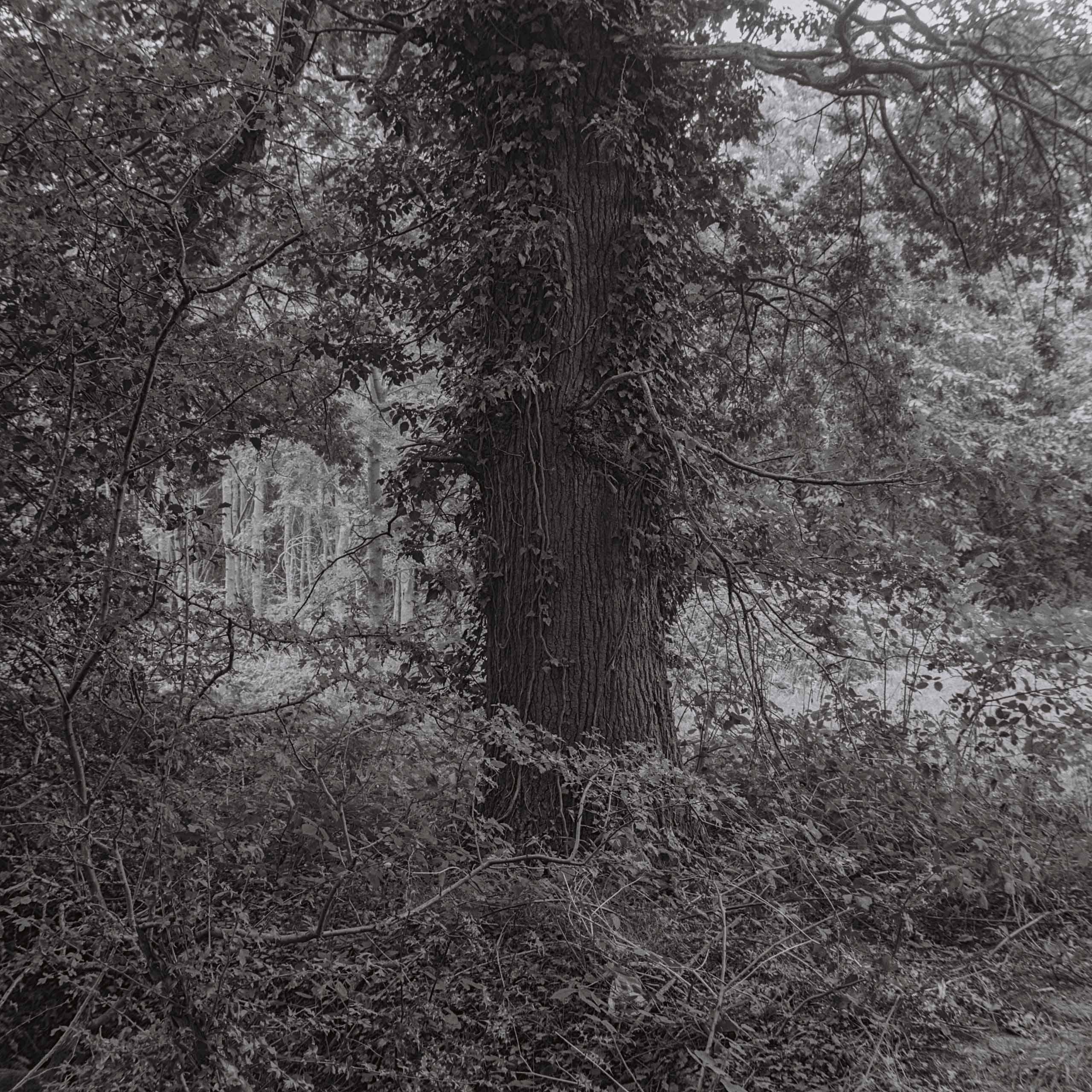 14.-Mother-Oak-2