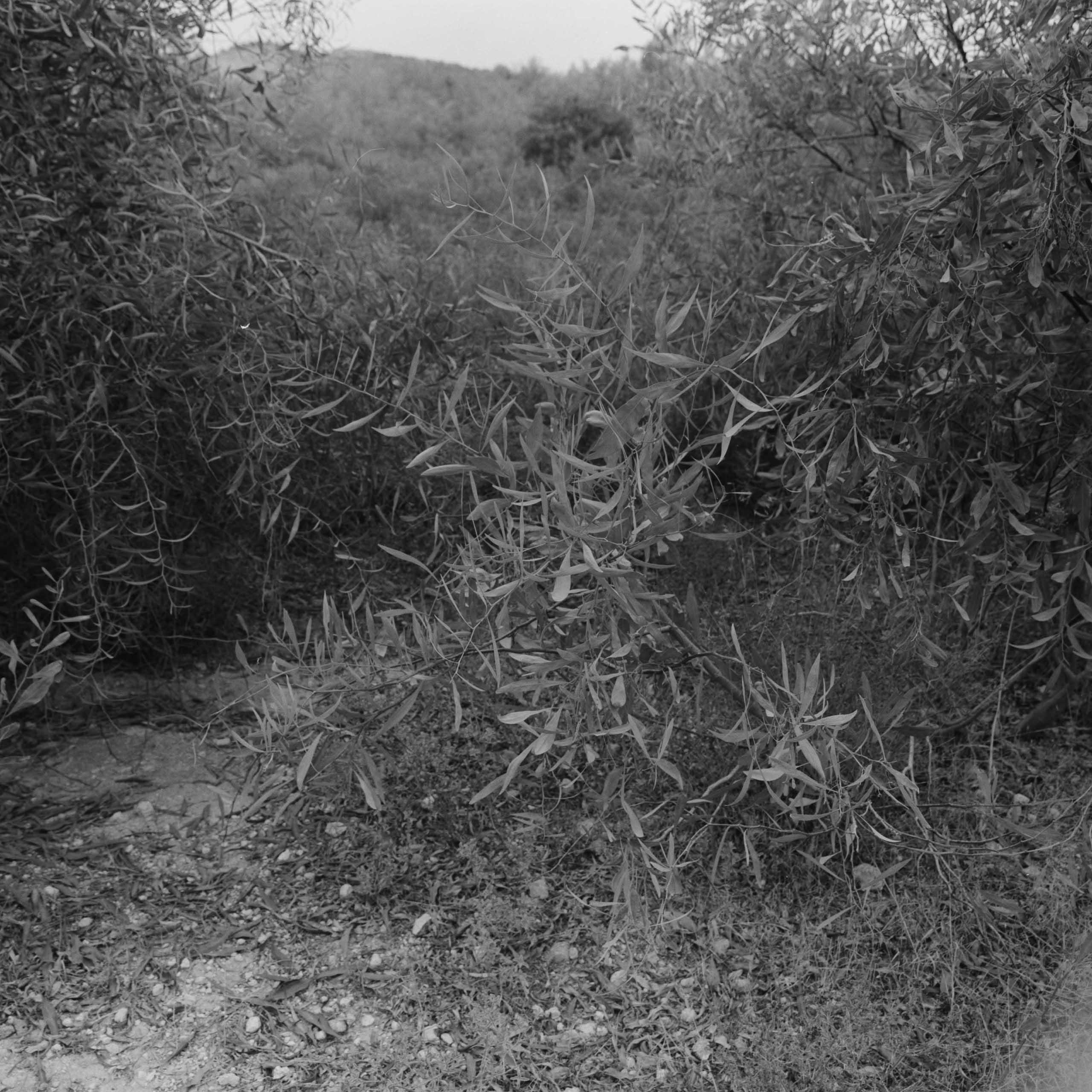 Native-Plants-of-Northern-Cyprus-11